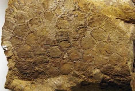 ¿Sabías Que? La piel de los dinosaurios era rugosa