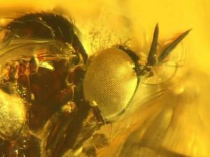 Especies extintas de insectos fosilizados en ámbar de hace 20 millones de años