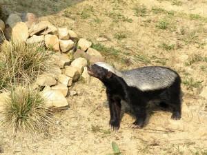 El Tejón melero es el animal más temerario del mundo