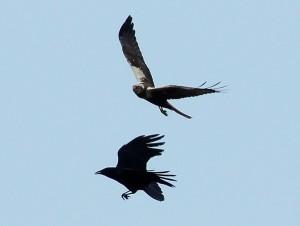 La corneja y las aves. Fábula clásica de Esopo con moraleja