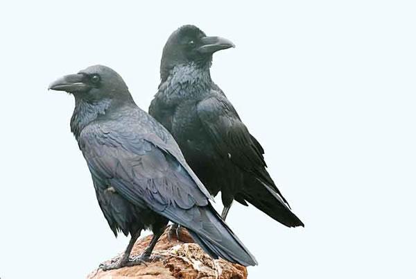La corneja con los cuervos. Fábula de clásica Esopo con moraleja