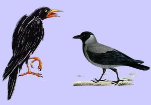 La corneja y el cuervo. Fábula clásica de Esopo con Moraleja