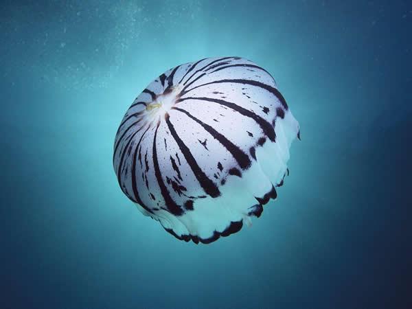 El sistema de propulsión de la medusa